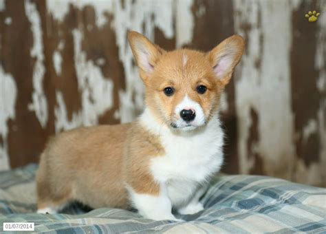 pembroke corgi puppies for sale pembroke corgi puppies sale 31 cool hd wallpaper dogbreedswallpapers