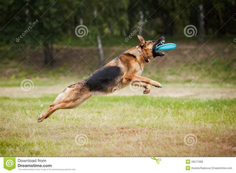catching frisbee frisbee sheepdog catching disc royalty free stock images image 26577089
