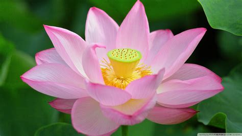 background meaning meaning of lotus flower wallpaper