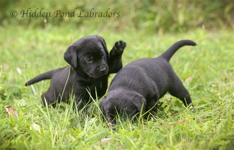 black labrador retriever puppies black labrador retriever puppies for sale pond labradors