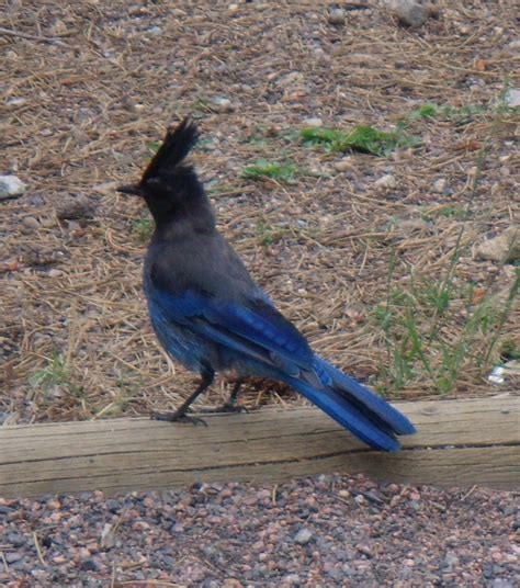 panoramio photo of blue bird in colorado steller s jay