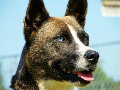 blue heeler husky mix puppies blue heeler puppies for sale lancaster puppies pets world