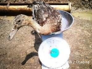Bibit Bebek Medan informasi budi daya dan ternak budidaya itik duo