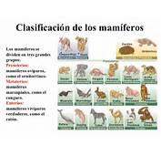 Cuadros Sin&243pticos Sobre Mam&237feros Caracter&237sticas Y Grupos