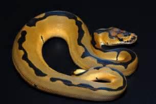 Reduced Pattern Pastel Ball Python | clown reduced pattern line ball python mutations