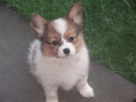 papillon puppies for sale papillon puppies for sale males and females lancashire pets4homes