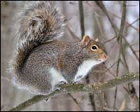 suffolk nuisance wildlife squirrel control and