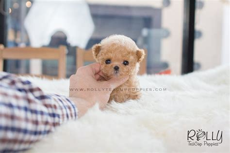 teacup puppies for adoption near me amelia poodle f rolly teacup puppies