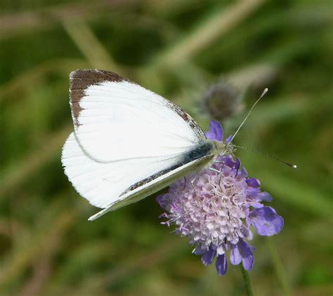 Plus Black Butterfly L pieris brassicae