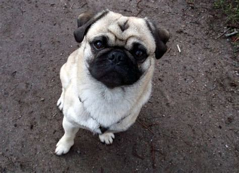oldest pug in the world top 10 smallest breeds in the world the mysterious world