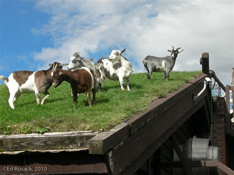 goats on a roof central florida photo ops