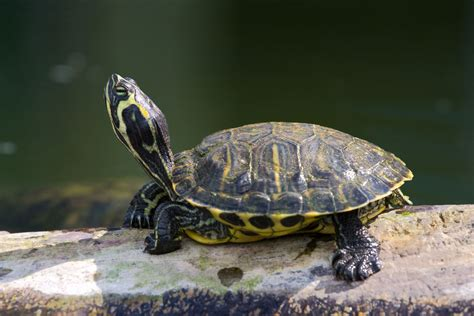 images of turtles what fluttering claws means in eared slider turtles