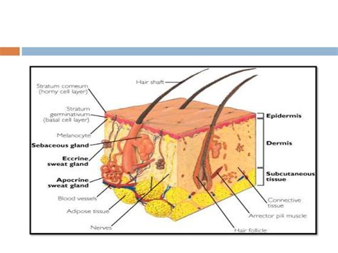 a protein that thickens and waterproofs the skin is structure function illnesses of the skin