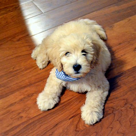 mini doodle samson 11 weeks mini goldendoodle smile2grace