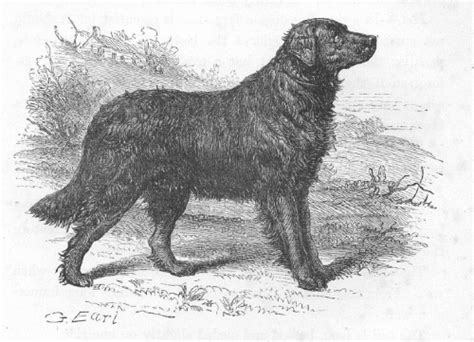 short haired newfoundland dogs flat coated retriever history natural history