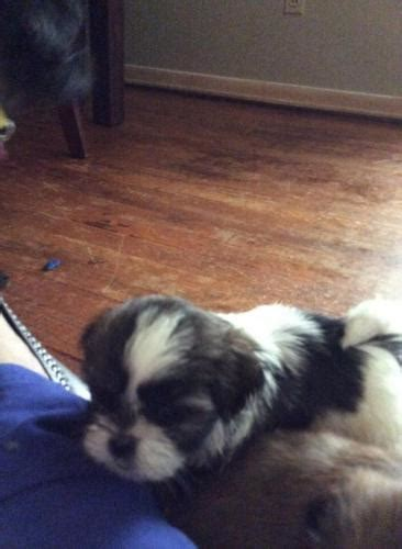 shih tzu for sale in el paso tx eastpointe for sale puppies for sale