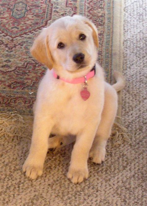 golden retriever lab mix lifespan yellow lab golden retriever mix puppy retrievers searches and
