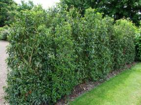 Topiary Define - portuguese laurel hedging instant hedging amp hedges