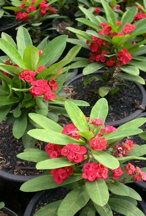 Sekam Bakar Halus gizi dan kuliner by budi euphorbia bunga cantik pembawa hoki
