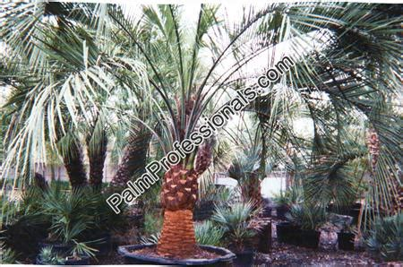 where to buy trees in houston pindo palm tree for sale in houston buy cold hardy