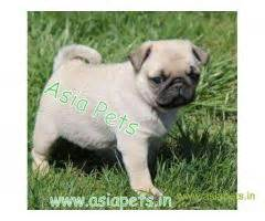 pug puppies price in pune pug puppies for sale in india pug puppy price in india