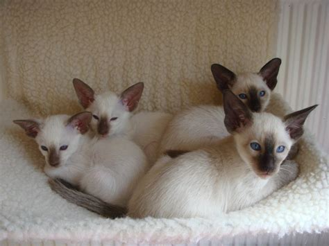 kitten for sale siamese kittens for sale wolverhton west midlands
