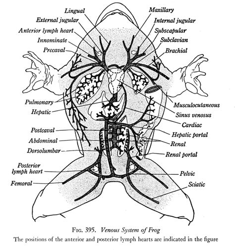 frog diagram bullfrog dissection zoology