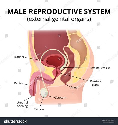 Male Reproductive System Anatomy Male Organs Stock Vector