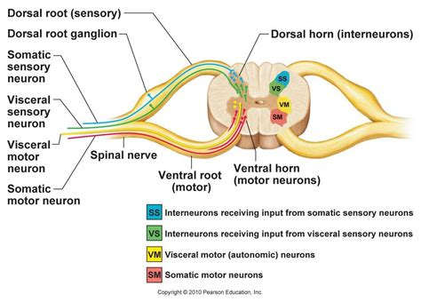 Cross Section Of Mammalian Spinal Cord by List 10 Anatomy And Physiology Anatomy Physiology 1102
