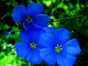 types of blue flower names pictures blue flowers for