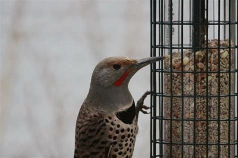 northern flicker brian hson life and other things