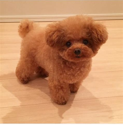 lifespan of teacup poodle purebred poodle puppies dogs in our photo