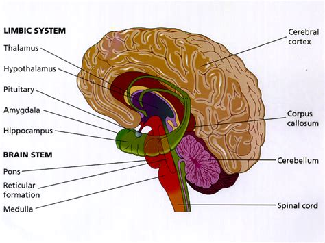 limbic system diagram image gallery limbic system diagram