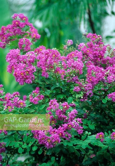 botanical gardens myrtle gap gardens lagerstroemia indica crepe myrtle in new