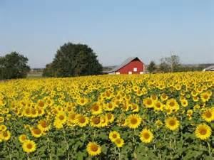 sunflowers in kansas kansas sunflower field
