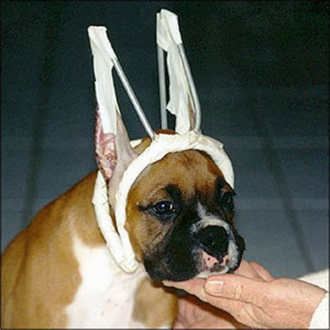 ear cropping dogs petition 183 american kennel club ban ear cropping dewclaw removal as