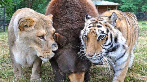 imagenes de tres leones juntos un le 243 n un oso y un tigre son grandes amigos en el