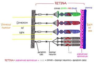 rods in the retina are the receptors for color e1 stimulus and response