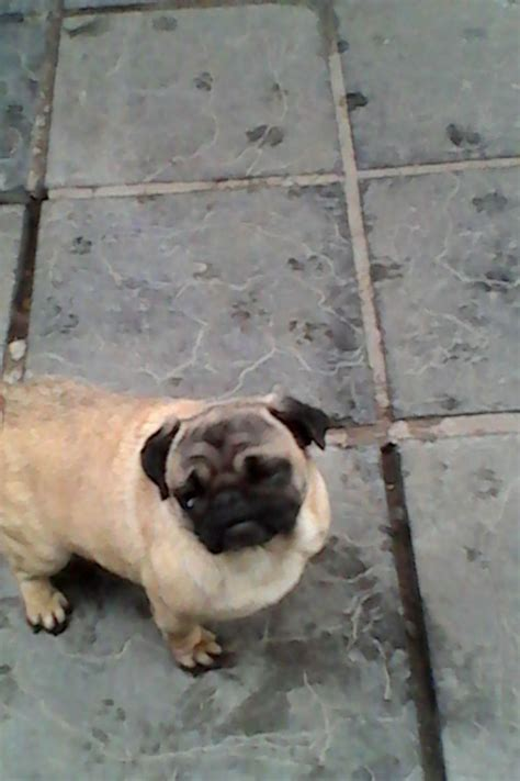 pugs in season stunning pug in season 18mthd abergavenny monmouthshire pets4homes