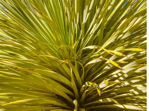 garten yucca braune flecken yucca rostrata 252 berwintern 187 die passende pflege im winter