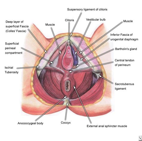 diagram of perineum perineal pouch images femalecelebrity