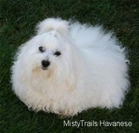 how to raise a havanese puppy whelping and raising puppies pictures and photos 4
