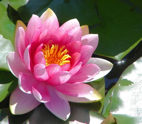 pink lotus flower in the water pictures to pin on