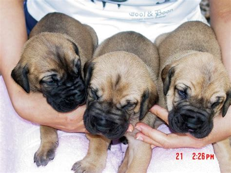 great dane puppies for sale in missouri great danes fawn brindle akc color puppies stud service