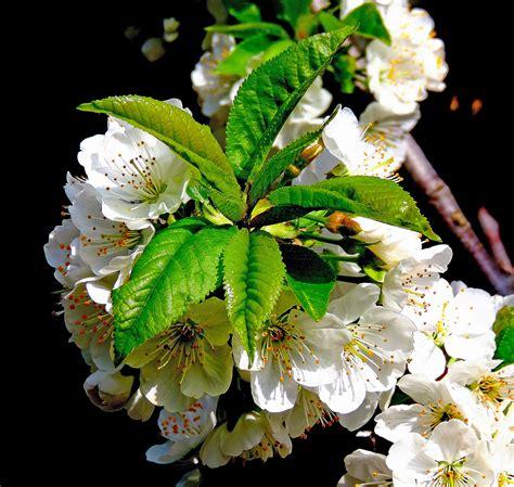 ciliegio in fiore ciliegio in fiore juzaphoto