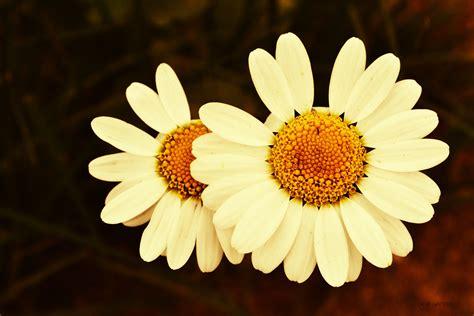 gambar menanam daun bunga bunga aster kuning flora