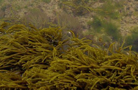 imagenes de algas rojas verdes y pardas proyecto biosfera