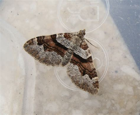 grey pug moth grey pug carpet added to moth list the financial birder