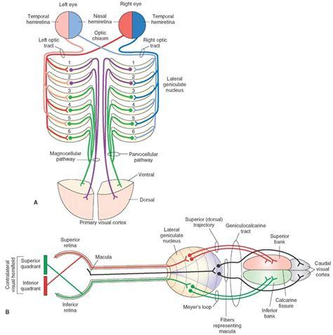 visual cortex diagram human visual system diagram the sight collective