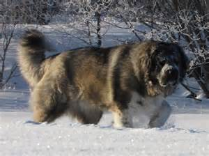 Caucasian ovcharka dog breed caucasian ovcharka dogs pinterest